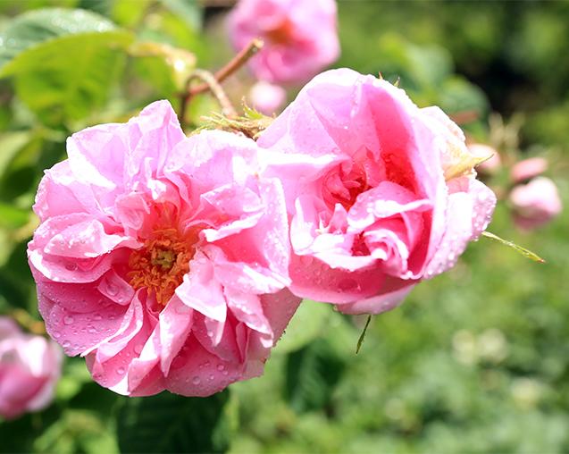 AG亚游集团玫瑰